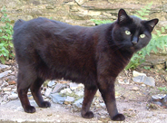 image of Manx Cat